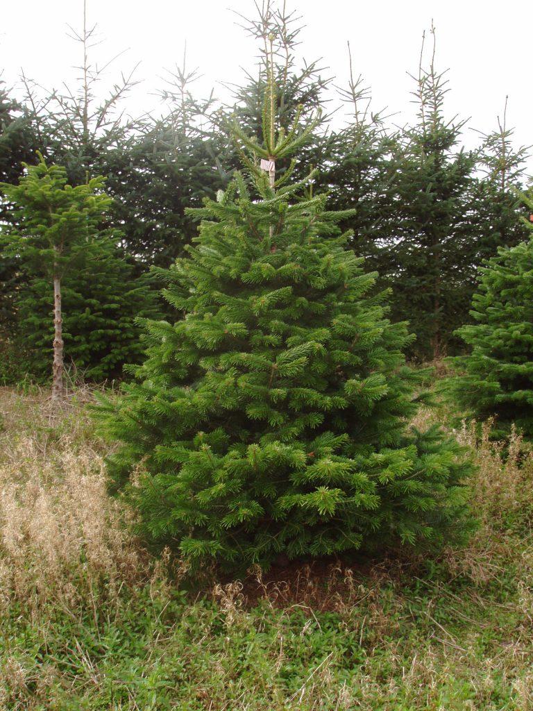 Premium Nordman Christmas Tree