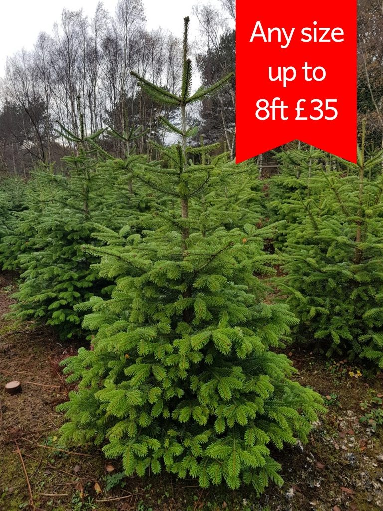 Value-Nordman-£35-Christmas-Tree
