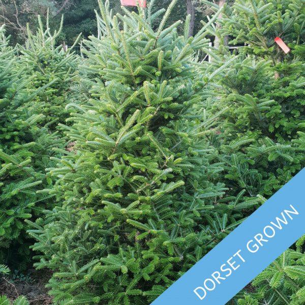 Frazer-Fir-Dorset-Grown-Trinity-Street-Christmas-Trees-