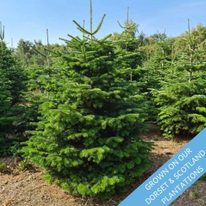 Luxury-Nordman-Fir-Christmas-Trees