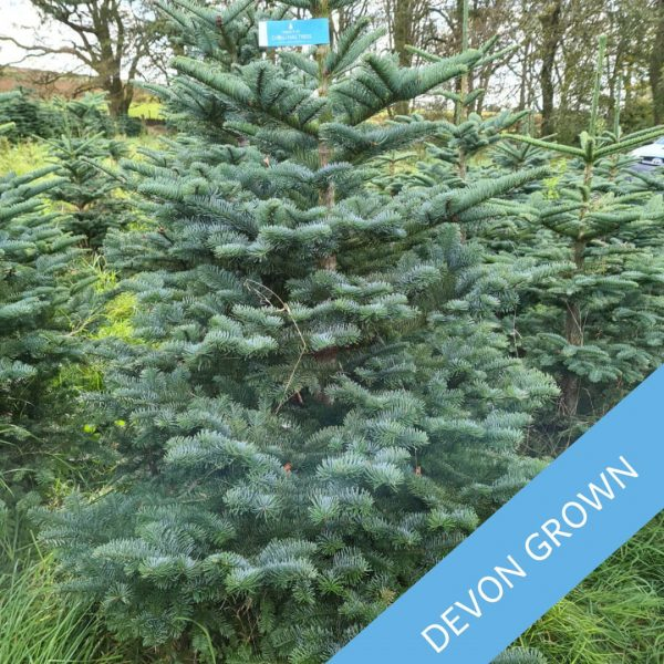 Noble-Fir-Scottish-Grown-Trinity-Street-Christmas-Trees-