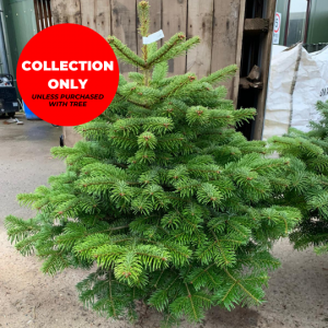 Pot-Grown-Nordman-Trinity-Street-Christmas-Trees-