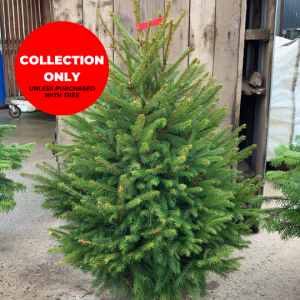 Pot-Grown-Norway-Spruce-Trinity-Street-Christmas-Trees-