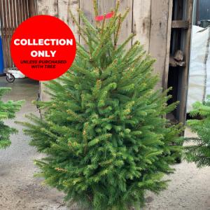 Pot-Grown-Norway-Spruce-Trinity-Street-Christmas-Trees-