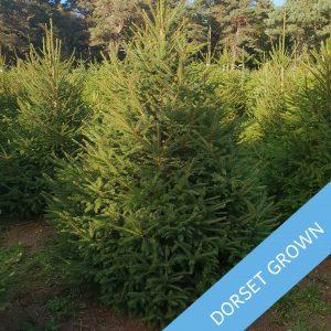 Premium-Norway-Spruce-Dorset-Grown-Trinity-Street-Christmas-Trees-