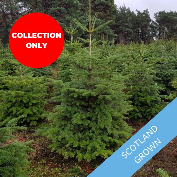 Value-Nordman-Fir-Trinity-Street-Christmas-Trees-Collection-Only