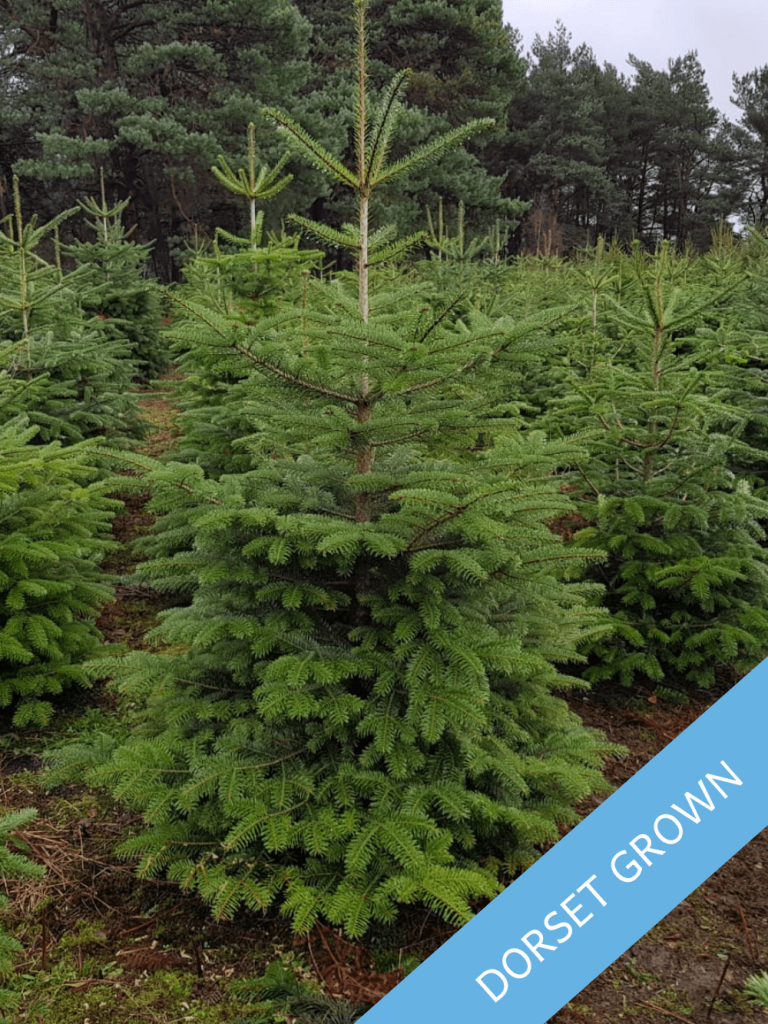 Value Nordman Fir - Trinity Street Christmas Trees