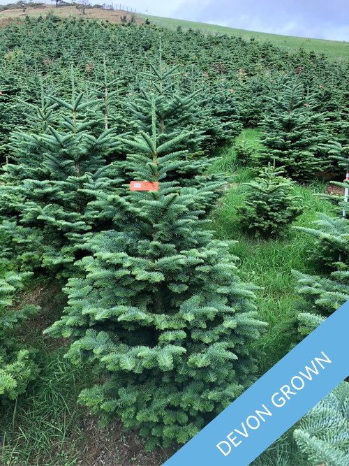 Noble Fir - Devon Grown - Trinity Street Christmas Trees