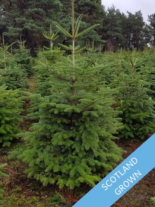 Value Nordman Fir Trinity Street Christmas Trees
